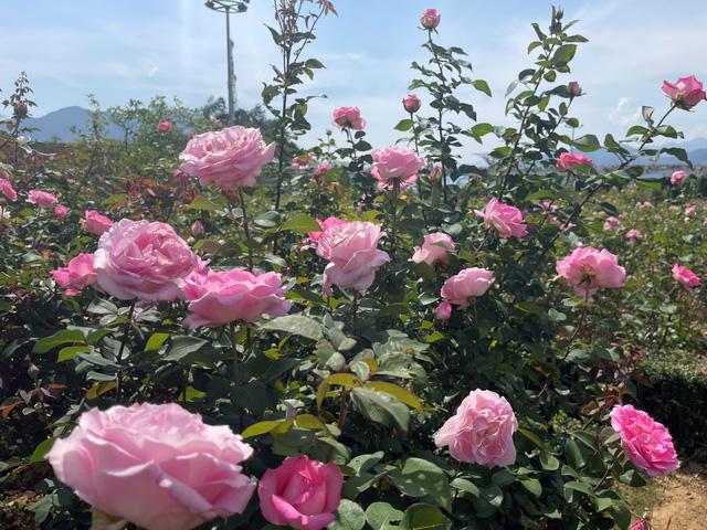 Sắc hoa rực rỡ từ chân núi lên tới đỉnh Fansipan, chỉ ước hết dịch để được xách ba lô lên và đi - Ảnh 7.