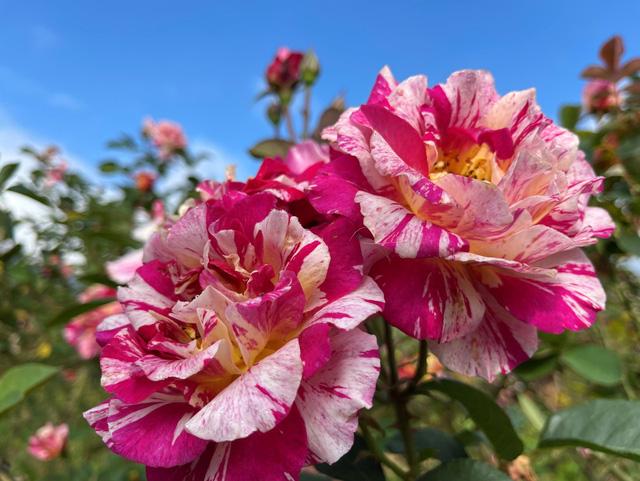 Sắc hoa rực rỡ từ chân núi lên tới đỉnh Fansipan, chỉ ước hết dịch để được xách ba lô lên và đi - Ảnh 10.
